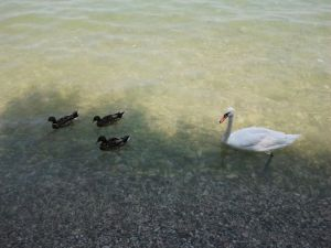 ducks and swan in Sirmione