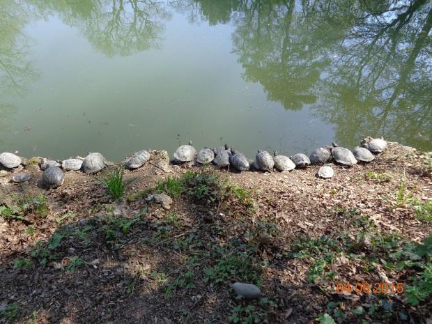 Turtles who sunbath on sunny day