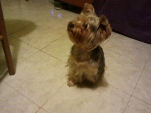 My Yorkie Terrier BEI waiting for table food