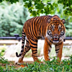 sumatran-tiger-518771_960_720